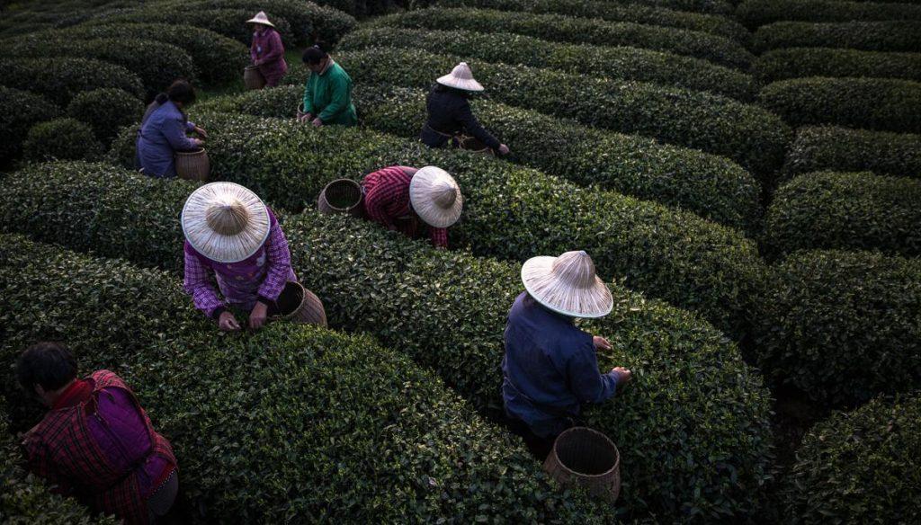 چای لانگجینگ
