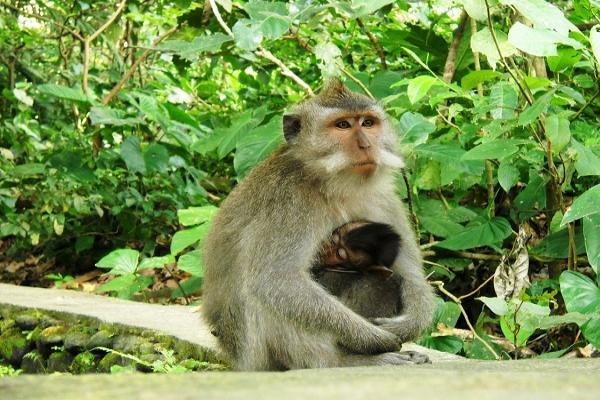 جنگل میمون های اوبود در بالی