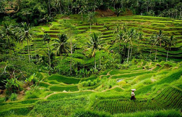 مزارع پلکانی برنج در منطقه ابود بالی